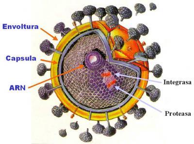 VIH (Virus de la Inumonodeficiencia Humana).