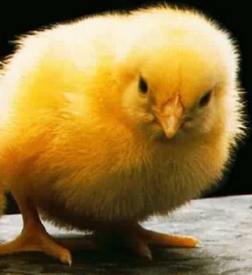 Nuestros pollitos